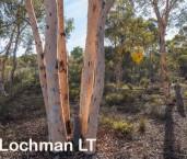 Eucalyptus wandoo - Wandoo LLP-920 ©Jiri Lochman - Lochman LT