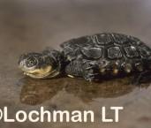 Pseudemydura umbrina -Western Swamp Tortoise PMY-001 ©Jiri Lochman -Lochman LT