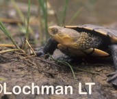 Pseudemydura umbrina -Western Swamp Tortoise ZFY-302 ©Jiri Lochman -Lochman LT