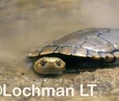 Pseudemydura umbrina -Western Swamp Tortoise ZFY-322 ©Jiri Lochman -Lochman LT