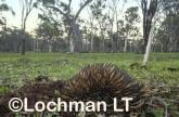 Short-beaked Echidna LLP-962 ©Jiri Lochman - Lochman LT