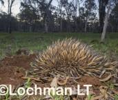 Short-beaked Echidna LLP-963 ©Jiri Lochman - Lochman LT