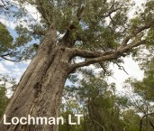 South- Ludlow Tuart Forest  LLM-618 ©Jiri Lochman- Lochman LT