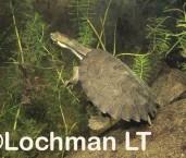 Wollumbinia belli - Bell's Turtle GSY-849 ©Gunther Schmida - Lochman LT