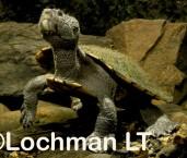 Wollumbinia latistermum - Saw-shelled Turtle GSD-024 ©Gunther Schmida - Lochman LT