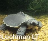 Carrettochely insculpta Pig-nosed Turtle KZY-798 ©Jiri Lochman - Lochman LT