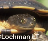 Chelodina expansa -Broad-shelled River Turtle KJY-871 ©Jiri Lochman -Lochman LT