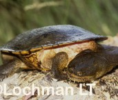 Chelodina oblonga -Northern Snake-necked Turtle ZLY-268 ©Jiri Lochman -Lochman LT