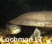 Chelodina steindachneri -Pilbara Snake-necked Turtle ZAY-376 ©Jiri Lochman -Lochman LT