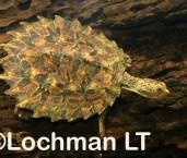 Elseya albagula -White-throated Snapping Turtle GSD-025 ©Gunther Schmida -Lochman LT