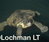 Elseya dentata - Northern Snapping Turtle LOY-157 ©Jiri Lochman - Lochman LT