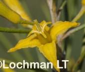 Persoonia hexagona AFD-565  ©Marie Lochman - Lochman LT