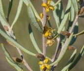 Persoonia rufiflora AFD-569 ©Marie Lochman - Lochman LT
