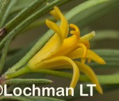 Persoonia striata AFD-580 ©Marie Lochman - Lochman LT