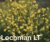 Stirlingia anethifolia XRY-476 ©Jiri Lochman - Lochman LT
