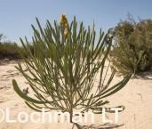 Stirlingia latifolia AFE-505 ©Marie Lochman - Lochman LT