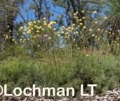 Stirlingia simplex LLP-512 ©Jiri Lochman - Lochman LT