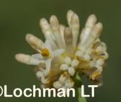 Stirlingia simplex LLP-514 ©Jiri Lochman - Lochman LT