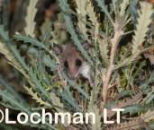 Western Pygmy Possum LLP-944 ©Jiri Lochman - Lochman LT