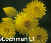 Waitzia aurea Golden Immortlelle ADY-072 ©Marie Lochman- Lochman LT