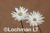 Argentipallium niveum LLN-232 ©Jiri Lochman- Lochman LT.