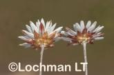 Argentipallium niveum LLN-233 ©Jiri Lochman- Lochman LT.