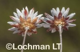 Argentipallium niveum LLN-234 ©Jiri Lochman- Lochman LT.