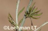 Argentipallium niveum LLN-235 ©Jiri Lochman- Lochman LT.