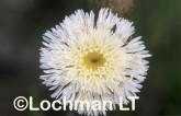 Asteraceae Asteridea asteroides ASY-405 ©Marie Lochman- Lochman LT