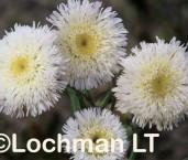Asteraceae Asteridea asteroides ASY-407 ©Marie Lochman- Lochman LT
