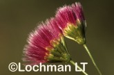 Asteraceae Bellida graminea Rosy Bellida AOY-146 ©Marie Lochman- Lochman LT