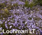 Brachyscome iberidifolia - Swan River Daisy - LLM-020 ©Jiri Lochman -  Lochman LT