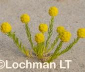 Calocephalus francisii Button Daisy LLN-194 ©Jiri Lochman- Lochman LT.