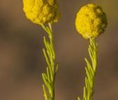 Calocephalus francisii Button Daisy LLN-198 ©Jiri Lochman- Lochman LT.
