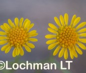 Calotis erinacea Tangled Burr-Daisy  LLN-173 ©Jiri Lochman- Lochman LT.