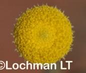 Chrysocephalum puteale LLN-199 ©Jiri Lochman- Lochman LT.
