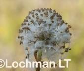 Craspedia variabilis LLN-186 ©Jiri Lochman- Lochman LT.