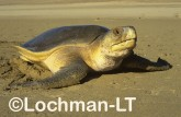 Flatback Turtle Natador depressus LKY-845 ©Jiri Lochman- Lochman LT