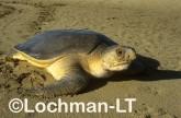Flatback Turtle Natador depressus LKY-850 ©Jiri Lochman- Lochman LT.