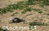 Flatback Turtle Natador depressus LKY-867 ©Jiri Lochman - Lochman LT