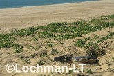 Flatback Turtle Natador depressus LKY-873 ©Jiri Lochman - Lochman LT