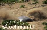 Flatback Turtle Natador depressus LKY-882 ©Jiri Lochman - Lochman LT
