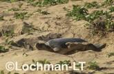 Flatback Turtle Natador depressus LKY-893 ©Jiri Lochman - Lochman LT