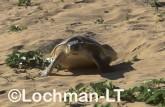 Flatback Turtle Natador depressus LKY-897 ©Jiri Lochman - Lochman LT