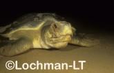 Flatback Turtle Natador depressus LKY-916 ©Jiri Lochman - Lochman LT