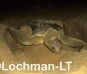 Flatback Turtle Natador depressus LKY-952 ©Jiri Lochman- Lochman LT