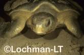 Flatback Turtle Natador depressus LMY-018 ©Jiri Lochman - Lochman LT