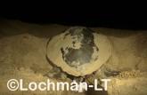 Flatback Turtle Natador depressus LMY-024 ©Jiri Lochman - Lochman LT