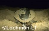 Flatback Turtle Natador depressus LMY-026 ©Jiri Lochman- Lochman LT.