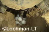 Flatback Turtle Natador depressus LMY-029 ©Jiri Lochman- Lochman LT